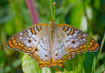 Butterfly Photograph - White Peacock Butterfly by Mark Andrew Thomas