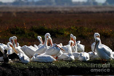 White Pelicans Print by Wingsdomain Art and Photography