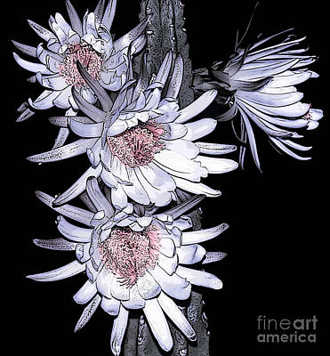 White Pink Cereus Flowers - Digital Art Print by Dolores Root