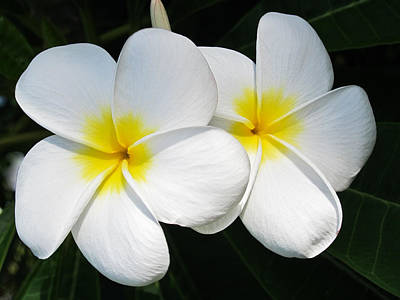 Tropical Photograph - White Plumerias by Shane Kelly
