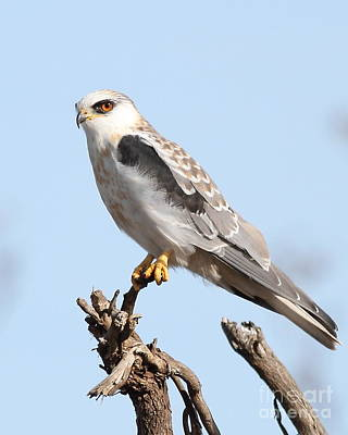 Hawk Photograph - White-tailed Kite Hawk Perched . 7d11090-1 by Wingsdomain Art and Photography