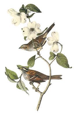 White-throated Sparrow Print by John James Audubon