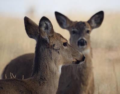 Whitetail Deer Print by Ernie Echols
