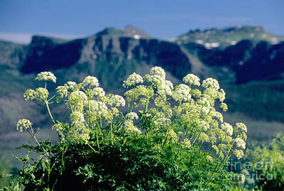 Wild Angelica Print by James Steinberg and Photo Researchers