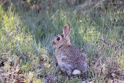 Rabbit Hunting Photograph - Wild Bunny by Amara Roberts