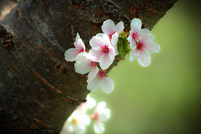Wild Cherry Blossom Print by Emanuel Tanjala