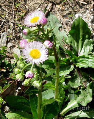 Digital Photograph - Wild Daisy by The Kepharts
