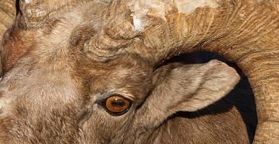 Ram Horn Photograph - Wild Eye by Sandy Sisti