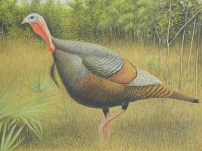 Wild Turkey Drawing - Wild Turkey by Alan Suliber