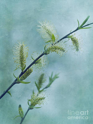 Spring Time Photograph - Willow Catkins by Priska Wettstein