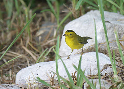 Wilsons Warbler By The Stream Print by Roena King