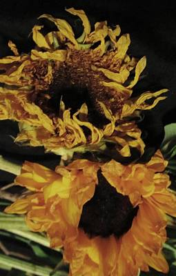 Wilted Sunflowers Print by Todd Sherlock