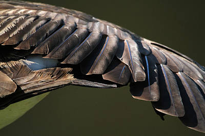 Animal Abstract Photograph - Wing Stretch by Karol Livote