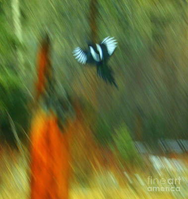Magpies Photograph - Wings by Julie Lueders