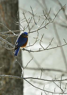 Winter Bluebird Print by Rebecca Sherman
