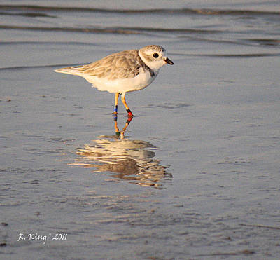 Winter Piping Plover Banded 2 Print by Roena King