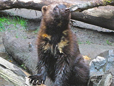 Nature Photograph - Wolverine With Claws Bared by Sean Griffin