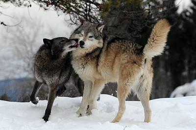 Wolves Kissing Print by Jacki Pienta