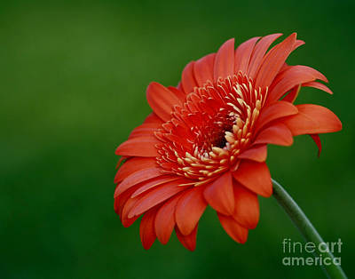 Wonder Of Nature Gerber Daisy Print by Inspired Nature Photography Fine Art Photography