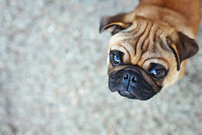 Part Of Photograph - Wrinkly Pug Puppy by Melissa Lomax Speelman