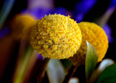 Genus Photograph - Yellow Billy Buttons by Julie Palencia