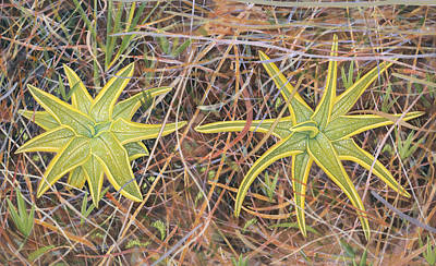 Insect Eating Plants Drawing - Yellow Butterwort In Habitat by Scott Bennett