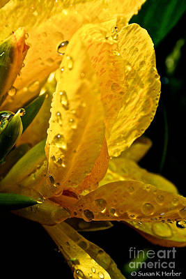 Yellow Canna Lily Print by Susan Herber