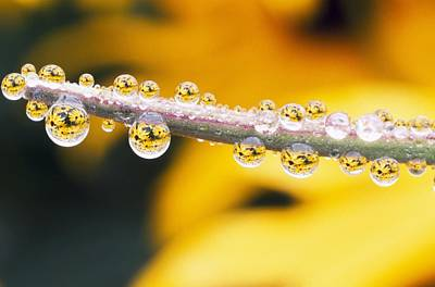 Yellow Flowers Reflected In Dew Drops Print by Natural Selection Craig Tuttle