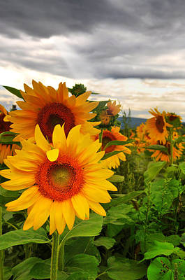 Sunflower Photograph - Yellow Happiness by Emily Stauring