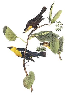 Blackbird Painting - Yellow-headed Blackbird by John James Audubon