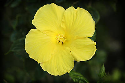 Leaves Photograph - Yellow Hibiscus by Marilyn Hunt
