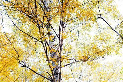 Yellow Lace Of The Birch Foliage  Print by Jenny Rainbow