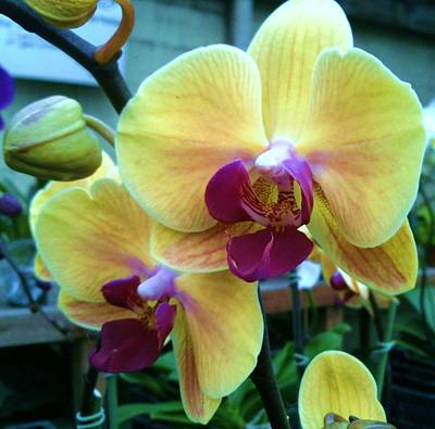 Yellow Orchid In It's Own Glory Print by Shawn Hughes