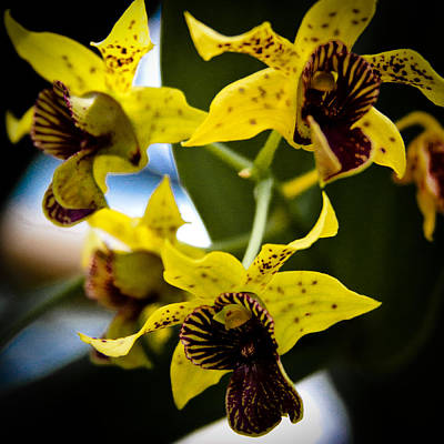 Yellow Orchids Print by David Patterson