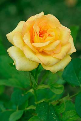Yellow Rose Print by Atiketta Sangasaeng