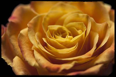 Yellow Rose Bud Print by Zoe Ferrie