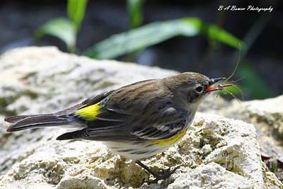 Yellow-rumped Warbler Tosses Spider Original by Barbara Bowen