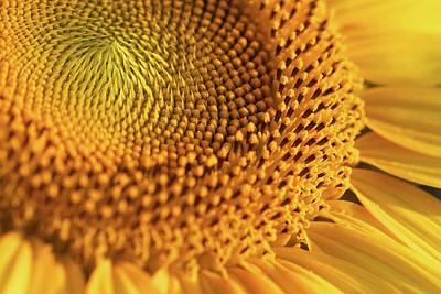 Yellow Sunflower Print by Jasohill Photography