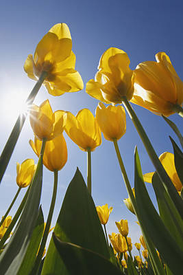 Yellow Tulips Against A Blue Sky At Print by Craig Tuttle