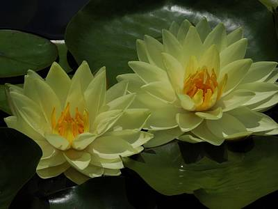 Yellow Water Lilies Print by Chad and Stacey Hall
