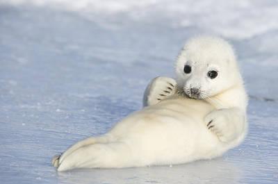 Y120817 Photograph - Yellowcoat Harp Seal Pup by Daisy Gilardini