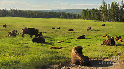 Yellowstone National Park Bison - 03 Print by Gregory Dyer