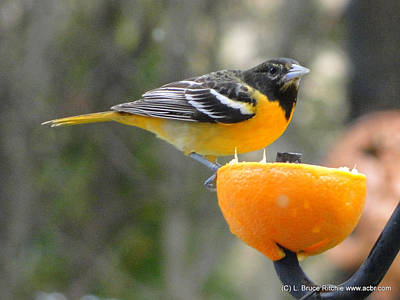 Oriole Mixed Media - Young Baltimore Oriole by Bruce Ritchie