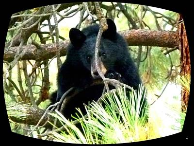 Pine Needles Photograph - Young Black Bear by Will Borden
