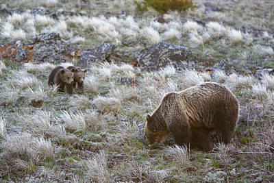 Young Grizzly Cubs Play As Their Mother Print by Drew Rush