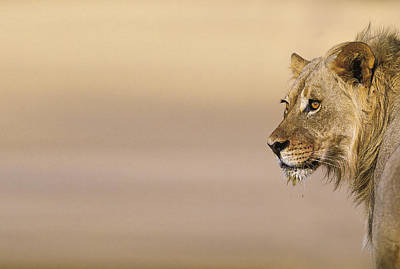 Young Male Lion (panthera Leo) On The Lookout Print by Heinrich van den Berg