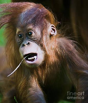 Orangutan Photograph - Young Monkey by Andrew  Michael