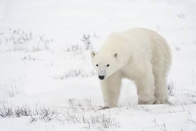 Young Polar Bear Ursus Maritimus Walks Print by Richard Wear