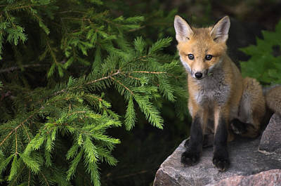 Young Red Fox On A Rock With Evergreen Print by Mike Grandmailson