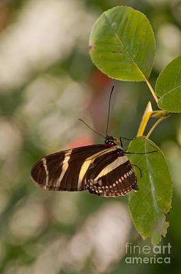 Zebra Longwing Butterfly Print by Dejan Jovanovic